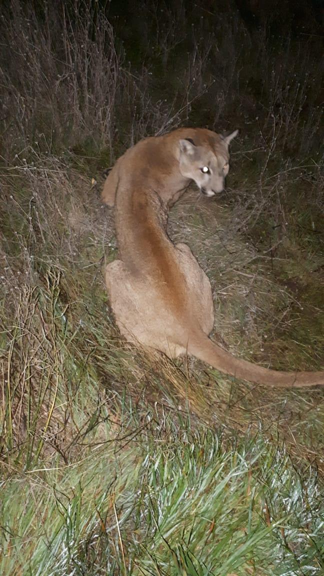 Desde Zoonosis confirmaron que el animal fue liberado en un campo de la zona. Y explicaron que podría haber bajado a la ciudad siguiendo a algún carpincho.